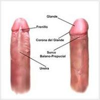Vista inferior y lateral de un pene