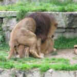 Monta de leones