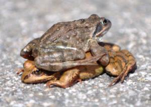 Foto de una rana sobre otra mirando en sentidos opuestos