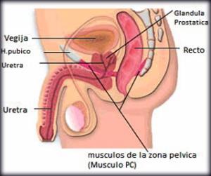 Dibujo anatómico del suelo pélvico masculino uniendo el coxis y el pubis
