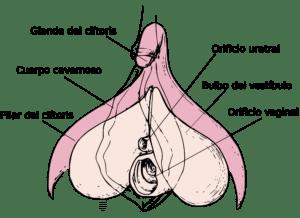 Dibujo donde se muestra la anatomía del clítoris: la punta o glande, las raices en forma de V invertida y los bulbos