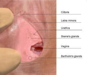 Foto de los órganos femeninos en los que se muestra el clítoris, los labios mayores y las glándulas de Skene ubicadas al lado de la uretra y antes de la entrada de la vagina