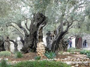 Foto de dos olivos del Getsemaní.