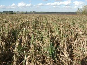 Rastrojo de un cultivo de Sorgo Granífero (cosechado) en Zárate, Argentina. En la imagen se puede ver un cultivo de sorgo que fue cosechado y solo queda en el suelo el rastrojo.