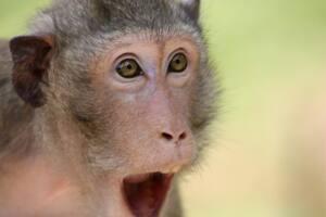 Mono con la boca abierta como si estuviera sorprendido.