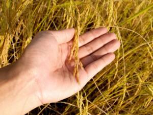 Mano que sujeta un tallo con semillas. Hacerse una paja por similitud con el movimiento de retirar el cereal de la paja